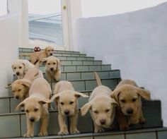 Here we come! Yellow lab puppies!