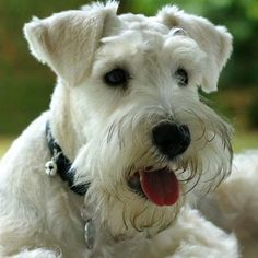 Darling white mini Schnauzer