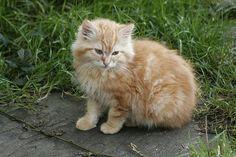 Fluffy Orange-Beige-Ginger Kitten - Feral Kitten Photo Of The Day Fluffy Kittens, Fluffy Cat, Feral Kittens, Cats And Kittens, Cat Shots, Ginger Kitten, Kitten Photos, Kitty Games, Orange Tabby Cats