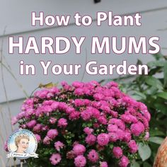 How to Plant Hardy Mums Outdoors as Year-Round Perennials Some potted fall mums can be planted as year-round perennials if you have the right plant and climate. Find out if your chrysanthemums will work. Garden Mum, Garden Care, Autumn Garden, Fall Plants, Indoor Plants, Hardy Mums, Fall Mums, Hydrangea Care, Hydrangea Potted