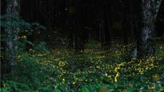 Long exposure photos of fireflies (or as we call them, lightning bugs).  Think I'll be giving this a try this summer!