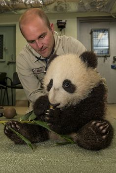 "We don't mean to alarm you, but panda cub Xiao Liwu has been diagnosed with ""Acute Cuteness."""