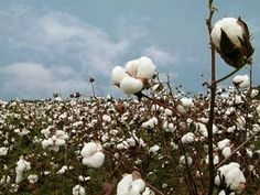 cotton field : living in Texas these were beautiful sights at the time of year.