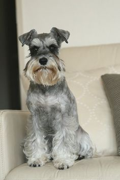 This little Miniature Schnauzer looks alot like my Zackary, love the cute expression on his face. Too cute