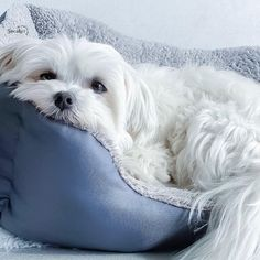 Bichon Dog, Maltese Dogs, Pet Puppy, Cute Puppies, Cute Dogs, Dogs And Puppies, Doggies, Hypoallergenic Dog Breed, Cute Little Animals