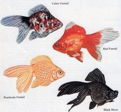 Types  of  fantail  goldfish