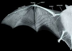 Could you make Bat wings shaped like the different kinds of Bird wings? Wing Anatomy, National University Of Singapore, Bird Wings, Kinds Of Birds, Creature Feature, Photo Reference, Reference Images, Art Reference, Mammals