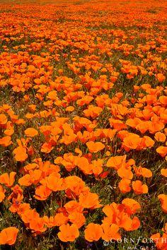 California Poppy..the State Flower