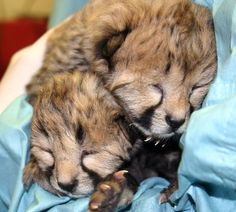 The National Zoo's Cheetah Cubs!!! Looks like Justin and Carmelita at a very young age. Born april 2012