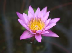 Pink Capensis water lily