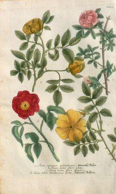 Johann Weinmann - N. 870 Rosa onmium.., Rosa lutea, Rosa rubra... (Roses) Phythanthosa Iconographia ...Regensberg, 1737-42.