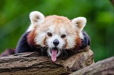 Panda Rojo, Bosteza, Habla Inglesa