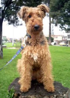 airedale terrier nz - Google Search