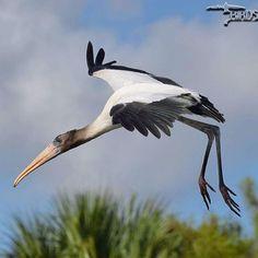 Wood Stork Stork Bird, Birds, Wood, Instagram Posts, Animals, Animales, Woodwind Instrument, Animaux, Timber Wood
