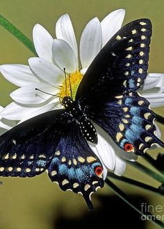 Eastern Black Swallowtail Greeting Card by Millard H. Sharp