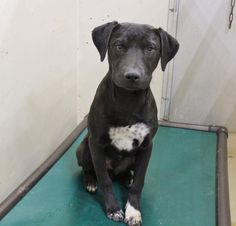 02/26/17-ODESSA,TX-SUPER URGENT - Speaking Up For Those Who Can't Sven is a male Lab mix 4-6 months old Kennel A13 $125 to adopt (that includes neuter, all shots, chipped and heart worm tested) ADOPT/RESCUE/FOSTER Located at Odessa, Texas Animal Control.