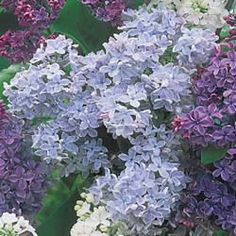 Lavender French Hybrid Lilacs