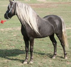 Brother rides an American Shetland Pony in the book. They are small, sturdy, cold-hardy horses that live an unusually long time. They make a good child's ranch horse because they are both smart and gentle when properly trained.