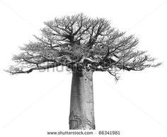 № ~ stock photo : Black and white Isolated baobab tree over white background Black And White Art Drawing, Black And White Tree, Tree Line Drawing, Drawing Trees, Tree Tat, Baobab Tree, Desenho Tattoo, Wood Burning Patterns, Tree Illustration