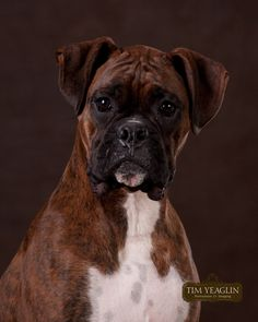 """"""" Barron """". a Boxer ..was ..my first (  and only dog )  pet <3"""