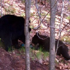 A couple of bears in back of our house when we lived in Monson, MA.  They visited for a few minutes and moved on to the neighbor's house. #bears #blackbears #photography #animals #animlphotography