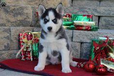 Kristi, Siberian Husky Puppy