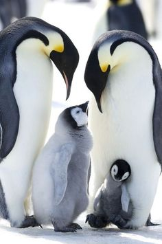 Plenty of Penguin Pictures - World's largest collection of cat memes and other animals Artic Animals, Cute Baby Animals, Animals And Pets, Funny Animals, Wild Animals, March Of The Penguins, Baby Penguins, Penguin Pictures, Animal Pictures