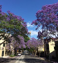 Everywhere you look in Sydney at the moment you are dazzled by blooming jacaranda. | Definitive Proof That Jacarandas Are The Most Beautiful Trees