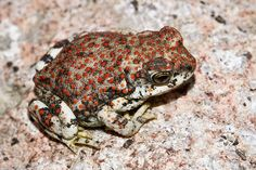Bufo punctatus - Red-Spotted Toad -- Sighted: Virgin River, Zion Canyon, Utah