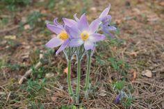 """Hämeenkylmänkukka ©Vesa Laitinen: """"Kymmenen vuotta olen Hämeenlinnassa asunut ja vasta tänä keväänä näin erittäin harvinaisen hämeenkylmänkukan. Se on Kanta-Hämeen maakuntakasvi. Kukka on kauniin sini-violetti ja varsi untuvaisen karvainen. Korkeutta kukalla on noin 15 cm. Kukan löytyminen oli ikimuistoinen hetki lasten kanssa tehdyllä metsäretkellä."""""""