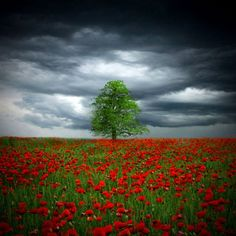 stormy skies, single tree on field of red flowers; ethereal landscape