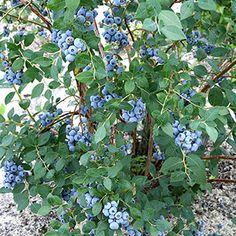 Sweetheart Blueberry Wayside Gardens Sets 2 crops per year