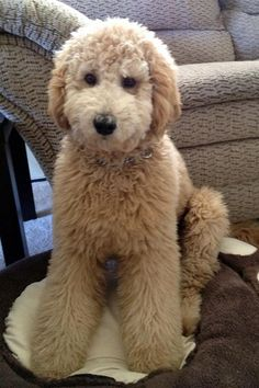 What a cutie!! from Music City Goldendoodles