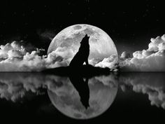 With Reflection, a Lone Wolf's Howling in the Presence of Full Moon.
