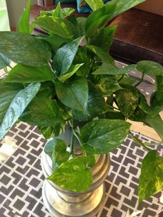 Pathos plants are ideal for apartment style living – they help filter the indoor air and require small amounts of sunlight and water.