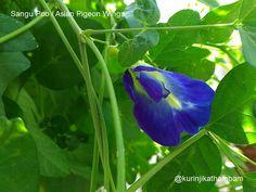 Flowers from My Cam: 9. Sangu Poo / Asian Pigeon Wings ~ Kurinji Kathambam