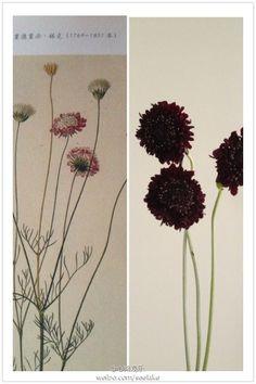 松虫草,别名蓝盆花,轮峰菊,原产地:南欧。曾在一本18世纪所绘的花卉书中见到,由一名当时非常有名的植物图谱画家Heinrich•F•link所绘。托我的渠道商去订,今日终于见到实物。