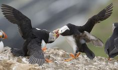 https://flic.kr/p/uMJoNS | Puffins fighting | Puffins fighting on Skomer Island.