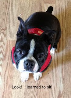Here is Beantown the Boston Terrier! WOW! how did this guy get such an interesting name?