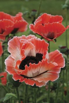 ~~Carnival Oriental Poppy~~