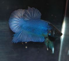 http://www.theaquariumwiki.com/Betta_splendens_-_variations