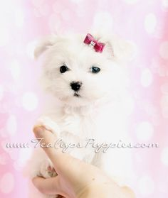 Tiny Maltese Baby <3  #maltese #puppy #maltesepuppies