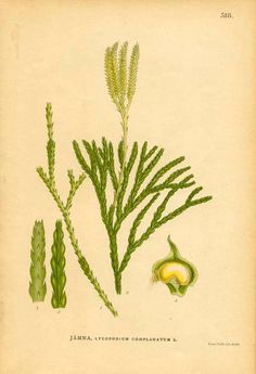 Antique 1905 Botanical Book Page Lycopodium Complanatum L. (Ground Cedar). $7.00, via Etsy.
