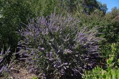 Ceanothus Blue Jeans. 6' x 6'. Evergreen. Full and Part Sun. Blooms in spring. Tolerates next to garden water.