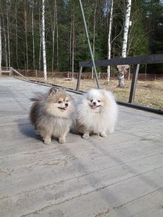 Our goal is to keep old friends, ex-classmates, neighbors and colleagues in touch. Fluffy Animals, Cute Baby Animals, Animals And Pets, Spitz Pomeranian, Cute Pomeranian, Pet Breeds, Dog Rules, Little Dogs, Beautiful Dogs