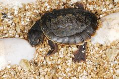 This baby northern Australian snapping turtle was born behind-the-scenes at the Aquarium on February 14th! #TurtleTuesday