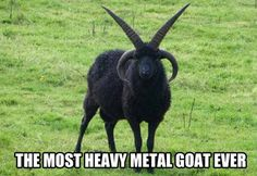 Heavy metal goat - Let's have some fun..