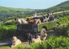 landie-universe: Land Rover Defender with dogs
