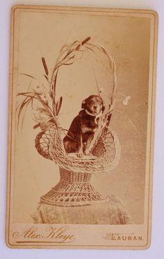Antique CDV Photograph ~ Sweet Dog In Basket