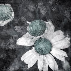 Daisies in Aqua & Gray - vintage wallpaper overlay